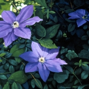 <b>Clematis</b><br>1998<br>oil on canvas<br>27 x 36 inches